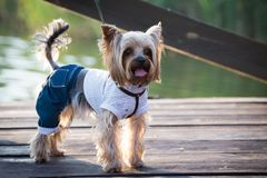 Dog in clothes. A dog in stylish clothes walks on the pier Stock Photos