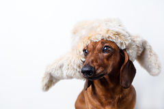 Dog in fur hat. The Dog in a stylish fur hat Royalty Free Stock Image