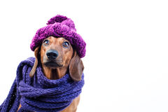 Dog in stylish scarf Royalty Free Stock Photos