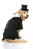 Dog with suit Royalty Free Stock Photo