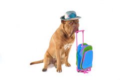 Dog and Suitcase Stock Image