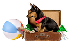 Dog in a suitcase Stock Photos