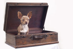 dog in a suitcase Royalty Free Stock Photos