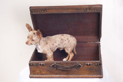 Dog in a suitcase royalty free stock image