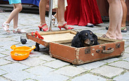 Dog in suitcase Stock Photo
