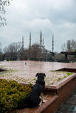 Dog in Sultanahmet square Royalty Free Stock Images