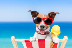 Dog summer beach. Jack russell dog  on hammock at the beach relaxing  on summer vacation holidays,  eating a fresh lemon or vanilla ice cream on a cone waffle Royalty Free Stock Image