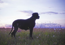 Dog in summer field at late evening Stock Photography