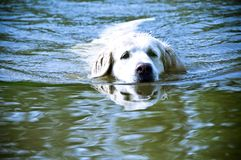 Dog summer fun. Golden retrievr dog swimming in river - HDR style Stock Images
