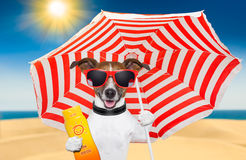 Dog summer sunscreen. Dog at the beach under red and white umbrella with sunscreen Stock Image