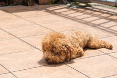 Dog sun bathing as therapy to relieve itchy skin Royalty Free Stock Photography