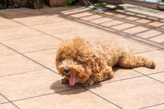 Dog sun bathing as therapy to relieve itchy skin Royalty Free Stock Photo