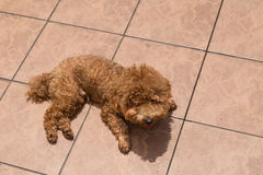 Dog sun bathing as therapy to relieve itchy skin Royalty Free Stock Image