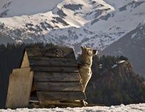 Dog Sunbath. Mushing dog sitting on a snowy mountain, enjoying the heat of the sun rays Stock Image