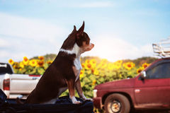 Dog at sunflower fields. Royalty Free Stock Photography
