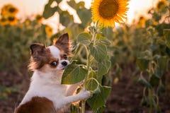 Dog sunflower royalty free stock photos