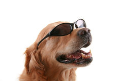 Dog with sunglasses Royalty Free Stock Images