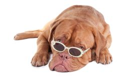 Dog with sunglasses. Dogue de bordeaux looking over stilish sunglasses with daisies Royalty Free Stock Image