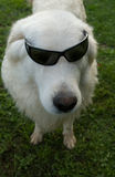 Dog in sunglasses Stock Photos