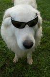 Dog in sunglasses Stock Photos