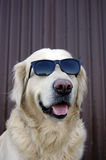 Dog with sunglasses Royalty Free Stock Photo