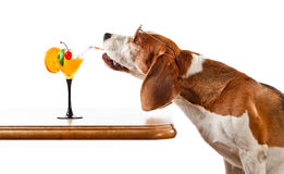 Dog in sunglasses drinks cocktail, isolated on white Royalty Free Stock Image