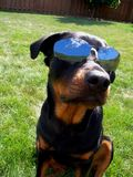 Dog with Sunglasses InDognito. Young female rottie dog wearing sunglasses shades and looking cool Stock Photos