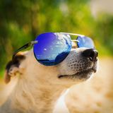 Dog in sunglasses. Jack Russell Terrier Looks up. Selective focus. The concept of vacation and travel. royalty free stock images