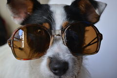 Dog with sunglasses. Soda the fashion puppy in action Stock Photography