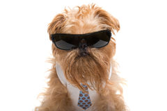 Dog with sunglasses and a tie Royalty Free Stock Images
