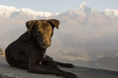 Dog sunning himself on stone ledge in the early morning at Sarangkot point of view. Large brown dog sunning himself on stone ledge in the early morning at royalty free stock photo