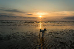 Dog on sunrise beach. Lurcher dog on beach at sunrise Stock Image