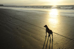 Dog at sunset. Dog on a beach at sunset Stock Photography