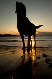 Dog in the sunset Stock Images