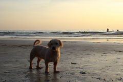 A dog on the sunset beach. Stock Photos