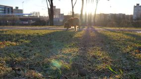 Dog at Sunset. Blurred Background stock video
