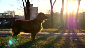 Dog at Sunset. Long Shadows of Trees stock footage