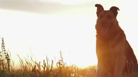 Dog at sunset stock video footage