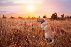 Dog at the sunset Stock Image