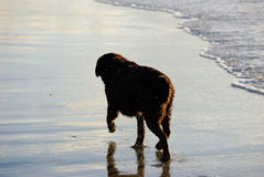 Dog in the surf Stock Photography