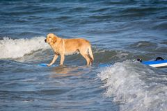 Surfing dog on a surfboad on the sea riding the waves. Dog on a surfboard on the sea riding the waves stock photography