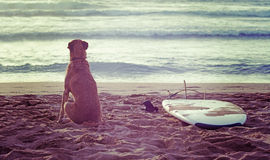 Dog and surfboard at sunset Royalty Free Stock Image