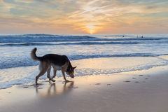 Dog surfer in anticipation. Royalty Free Stock Image