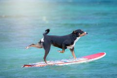 Dog surfing on a surfboard at the ocean shore, Appenzeller Mountain Dog.  royalty free stock photos