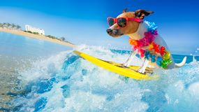 Dog surfing on a wave. Jack russell dog surfing on a wave , on ocean sea on summer vacation holidays, with cool sunglasses and flower chain royalty free stock image