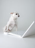 Dog surfs the net. Dog checks email, surfs net stock images
