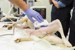 Dog surgery vet hand Royalty Free Stock Photography