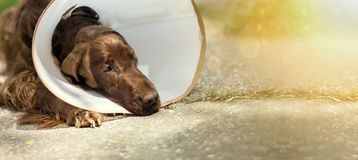 Dog after surgery. Website banner of a dog as wearing a funnel collar after surgery Royalty Free Stock Photo