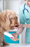 Dog after surgical intervention Royalty Free Stock Photo