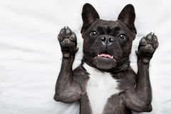 Dog surpise in bed. French bulldog dog  surprised , shocked and frightened, staring at you with arms in the air Stock Photography